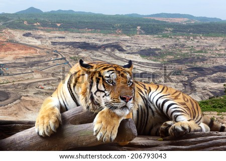 Tiger looking something on timber with the background is coal mining. - stock photo