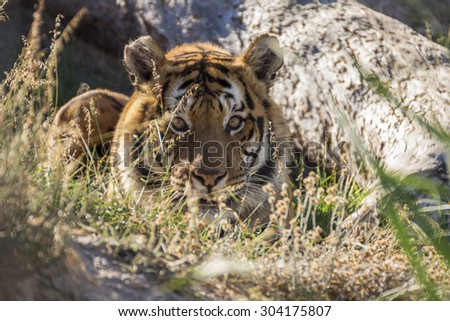 Tiger lying down on the grass - stock photo