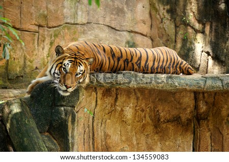 tiger lying on a rock - stock photo