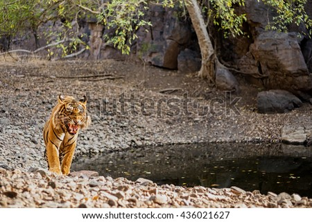 Tiger male charge in Ranthambhore National Park/wild animal in the nature habitat/India, big cats, endangered animals - stock photo