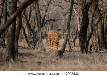 Tiger male walks in the magical dry forest face to face with photographer/wild animal in the nature habitat/India - stock photo