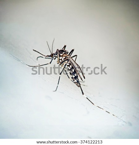 Tiger mosquito, Aedes albopictus. Can be vector for Zika virus etc. - stock photo