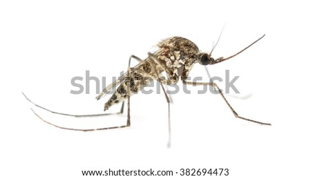 Tiger mosquito isolated on white - stock photo