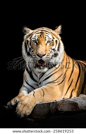 tiger on black background - stock photo