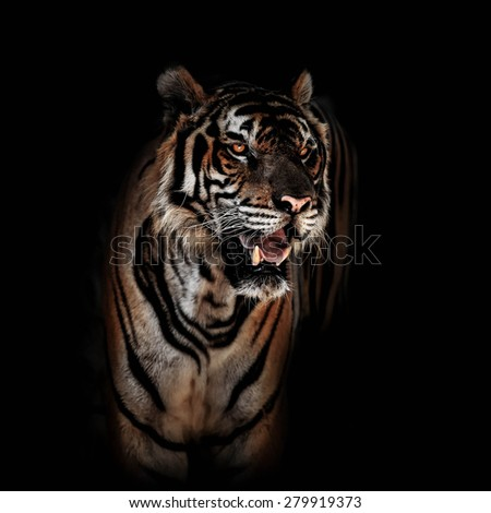 Tiger on black background. - stock photo
