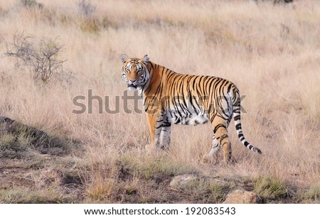 Tiger on the move - stock photo