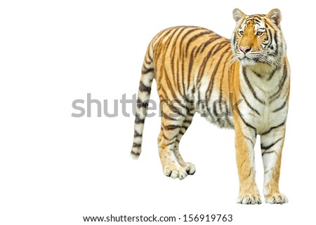Tiger on the white background. - stock photo
