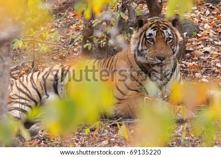 Tiger Panthera tigris - stock photo