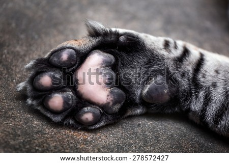 Tiger paw - stock photo