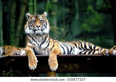 tiger portait - stock photo