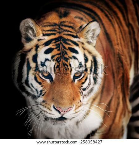 tiger portrait closeup on black - stock photo