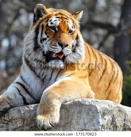 Tiger, portrait of a bengal tiger - stock photo