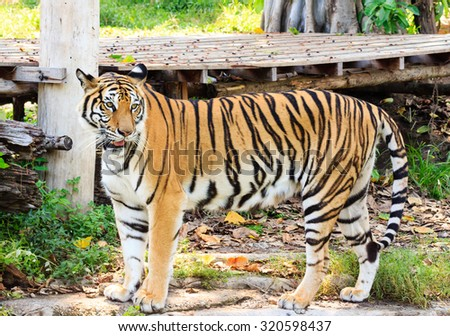 Tiger, portrait of a bengal tiger.in the zoo - stock photo