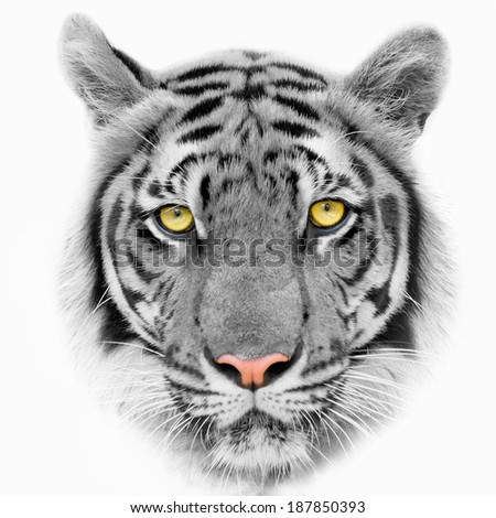 Tiger, portrait of a bengal tiger. isolated on white background - stock photo