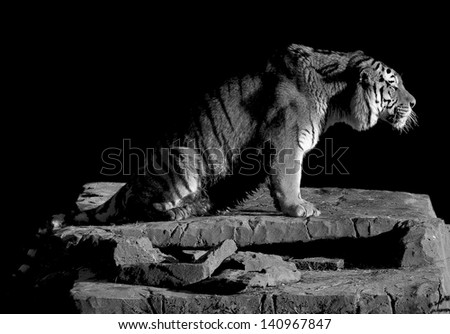 Tiger Power - stock photo