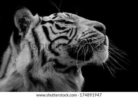Tiger Profile - stock photo
