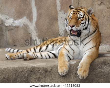 Tiger relaxing on rocky ledge - stock photo