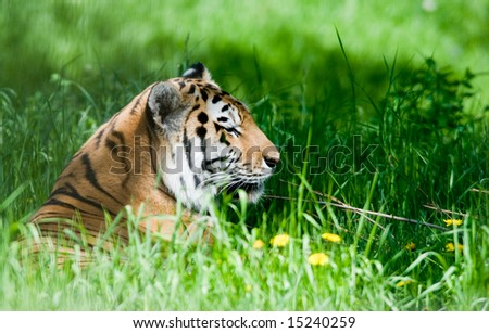 Tiger resting in the grass and weeds - stock photo
