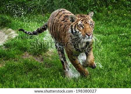 Tiger running - Young male Tiger sprinting from pool with water spraying off of his body  - stock photo
