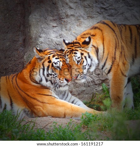 Tiger's couple. Love in nature. - stock photo