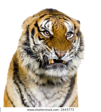 Tiger's Snarling in front of a white background. All my pictures are taken in a photo studio - stock photo