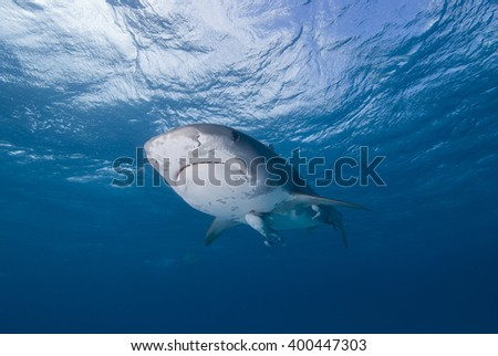 Tiger shark from below close to the surface in clear blue water with sun in the background. - stock photo