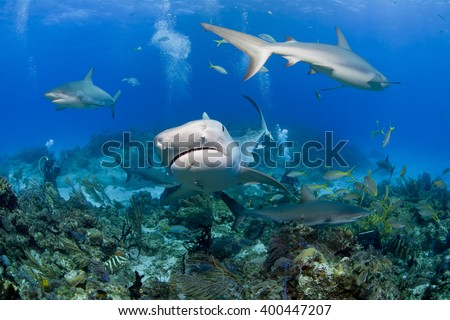 Tiger shark from the front with caribbean reef sharks in clear blue water and videographer / photographer in the background. - stock photo
