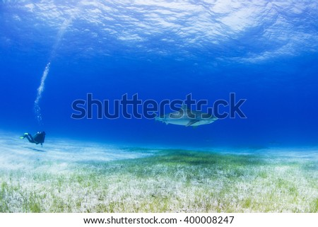 Tiger shark in clear blue water with scuba diver and sun in the background. - stock photo