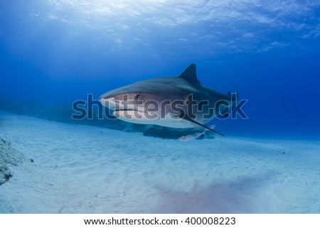 Tiger shark in clear blue water with sun in the background. - stock photo