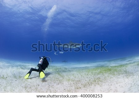 Tiger shark with other sharks and scuba diver in clear blue water. - stock photo