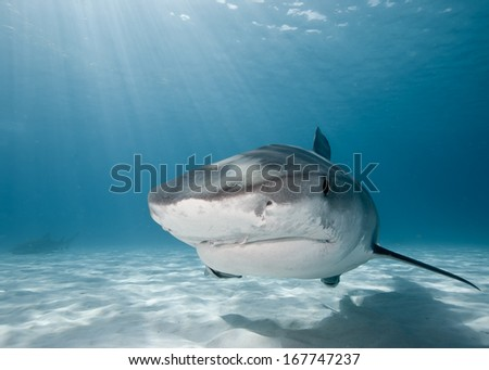 Tiger shark with sun rays above. - stock photo