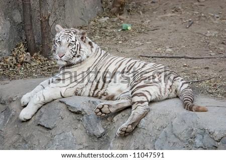 tiger shot in zoo of Beijing - stock photo
