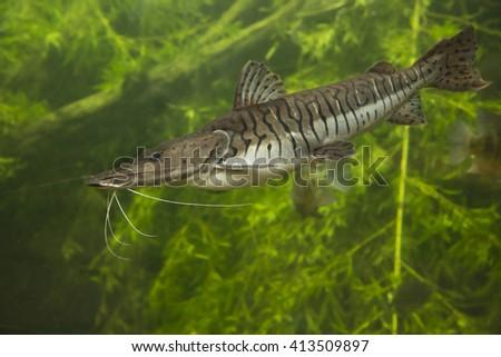 Tiger Shovelnose Catfish. Pseudoplatystoma fasciatum. - stock photo