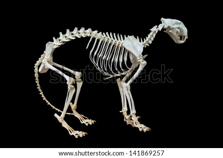 Tiger skeleton. Isolated on black background, with clipping path included.  - stock photo