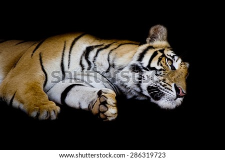 tiger sleep on one's side isolated on black background - stock photo