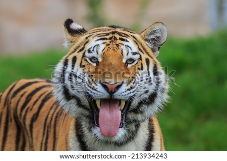 tiger smiling - stock photo