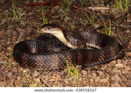 Tiger snakes are a type of venomous snake found in southern regions of Australia, including its coastal islands and Tasmania. - stock photo