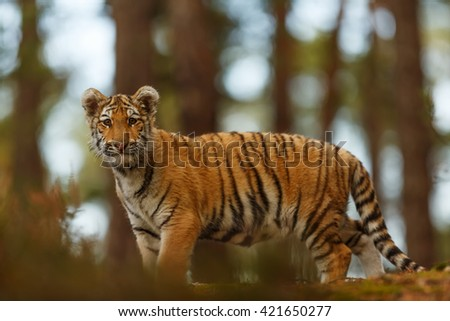 Tiger stands on the horizon and looks downwards. Around the wild forest and the tiger is very attentive. - stock photo