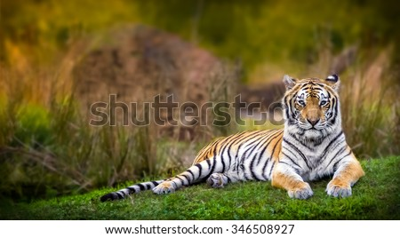 Tiger Stare - stock photo