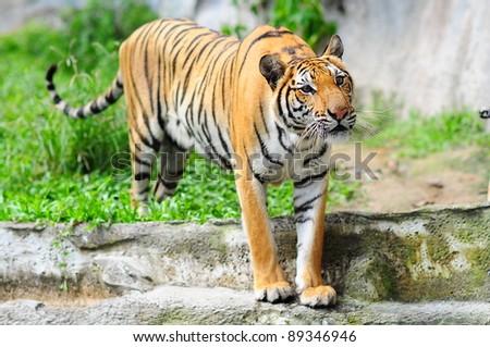 tiger stare - stock photo