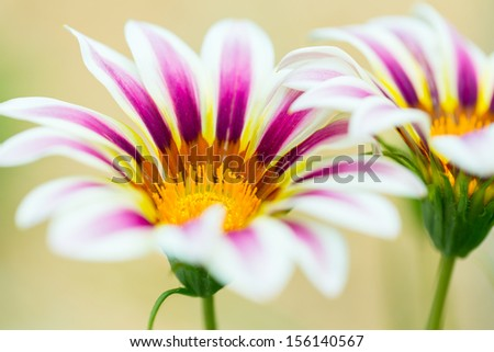 Tiger Striped Gazania flower, close up - stock photo