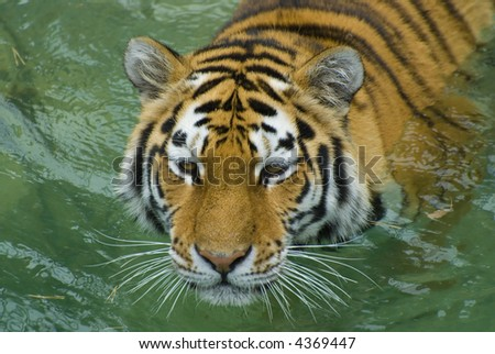 Tiger swimming in the Water - stock photo