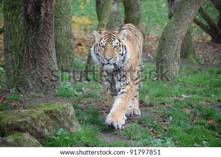 Tiger walking forwards - stock photo