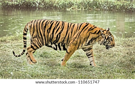 tiger walking in nature - stock photo