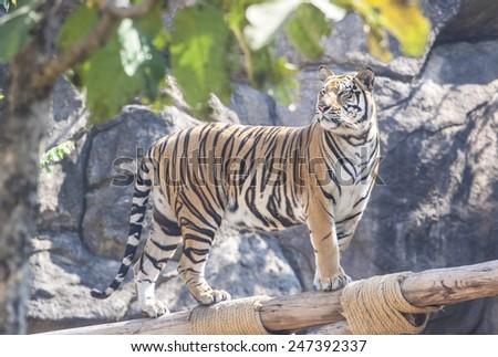 Tiger walking in zoo animals - stock photo