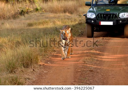 Tiger walking on the road, tadoba, maharashtra, india - stock photo