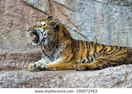 Tiger while yawning close up portrait - stock photo
