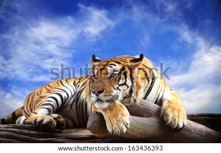 Tiger with blue sky - stock photo