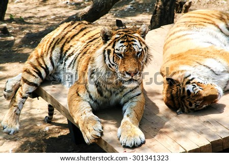 Tigers are resting. Animals striped predators. The family cat. The big cats. - stock photo