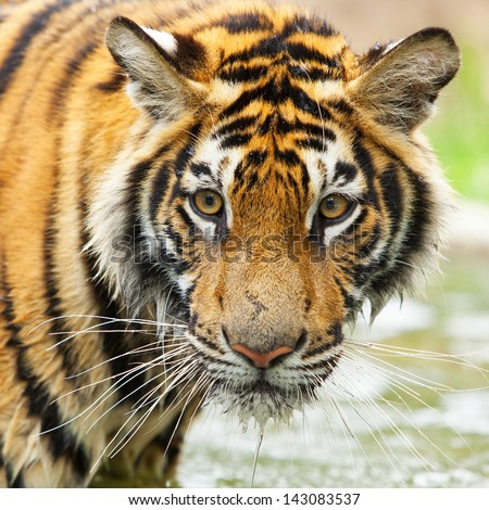 Tigers are wild animals in Thailand. - stock photo